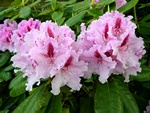 Rhododendron (Le Progress)